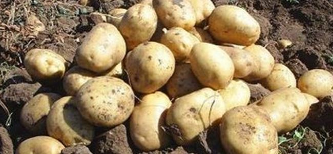 Photo of Kaçak 625 kilo patates tohumu