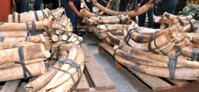 Vietnam'da 2 tona yakın kaçak fil dişi ele geçirildi