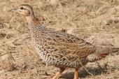 Av öncesi doğaya 120 bin keklik bırakıldı
