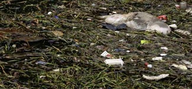 23 milyonun içtiği suda 3 bin ölü domuz