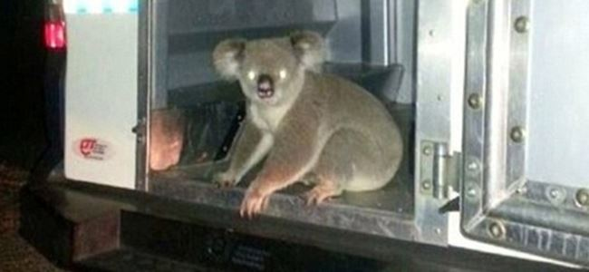 Koalayı tutukladılar! Nedenine şaşıracaksınız