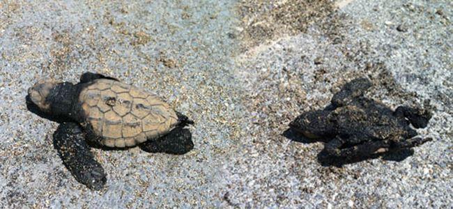 Caretta ölüleri sahile vurdu