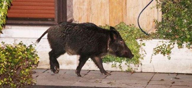 Üniverste kampüsünü domuzlar bastı