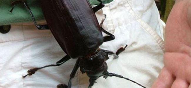 Bu Dev Böcek Etle Besleniyor