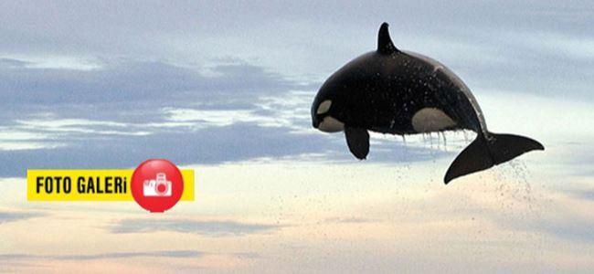 Dev balinalar av peşinde