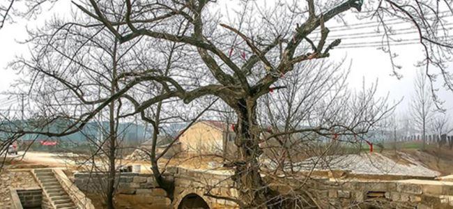 Köprünün içinde büyüyen 200 yıllık ağaç