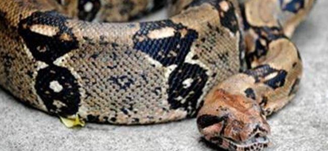 Piton yılanı 2 çocuğu öldürdü