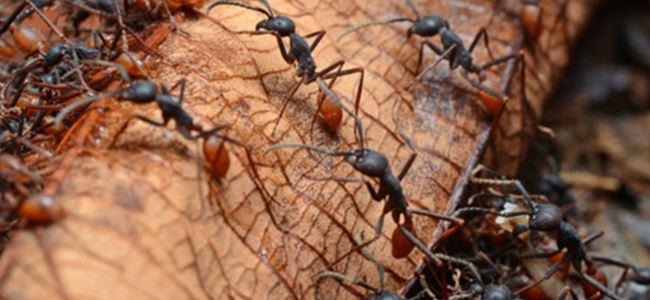 İstilacı karıncalar dünyaya yayılıyor!