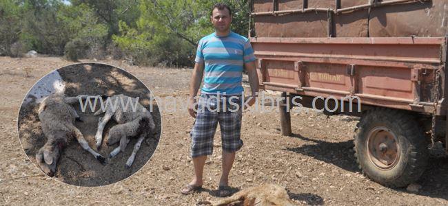 Esenköy'de başıboş köpekler ağıla saldırdı