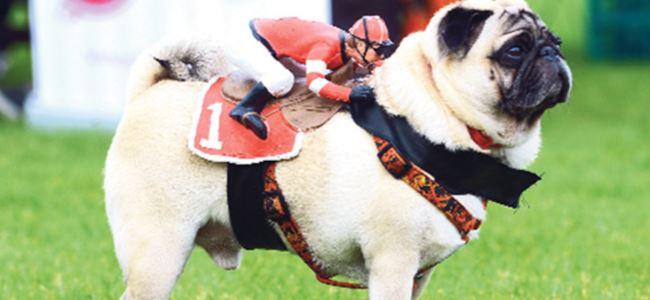 Pug'lara yarış öncesi 'jokey' morali