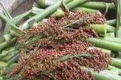 'Mucize bitki' Türkiye'ye uyum sağladı