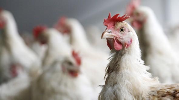 Photo of Tavukların zekası şaşırtıyor!