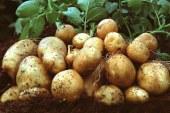 Patates üreticileri dikkat! Yarın mesai sonunda kadar…