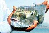 Hayvancılık Dairesi balon balığı başına 3 TL ödeyecek