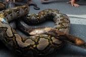 Endonezya'da 7 metrelik piton insan yuttu