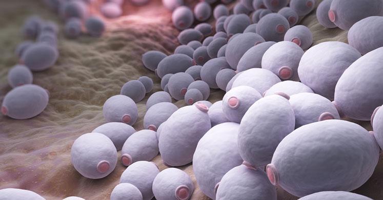 Candida Auris: Ölümcül Bir Mantarın Tehlikeleri