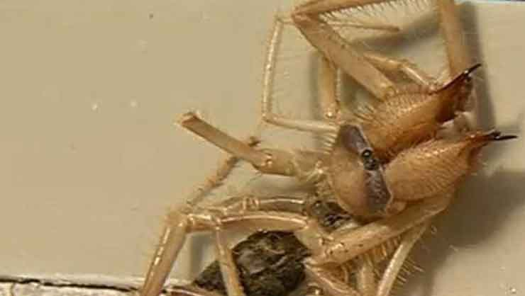 Photo of Kabus canavarı: Yarısı örümcek yarısı akrep