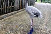 Bebek flamingoya özel ayakkabı ürettiler