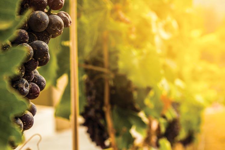 Photo of Kıbrıs Şarapçılığına Yeni Bir Yol Açıyoruz.