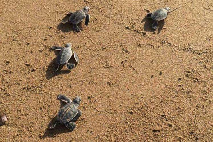 Photo of Deniz kaplumbağaları Kuzey Kıbrıs'ı çok sevdi
