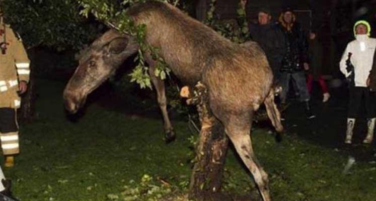 İsveç'te sarhoş geyik eve girdi
