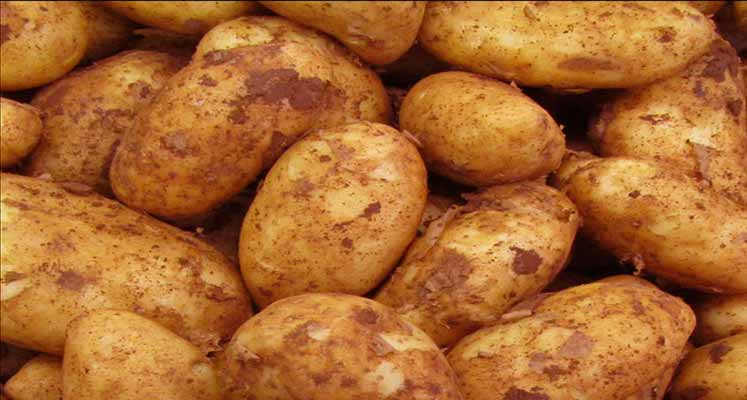 Photo of Soğuk hava güneydeki patates fidelerine zarar verdi