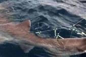 Köpekbalığını oltayla yakaladılar