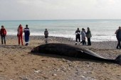 Antalya'da 5 metrelik ölü balina kıyıya vurdu