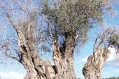 Kıbrıs'ın en önemli ağacı: Ağaçların kralı zeytin
