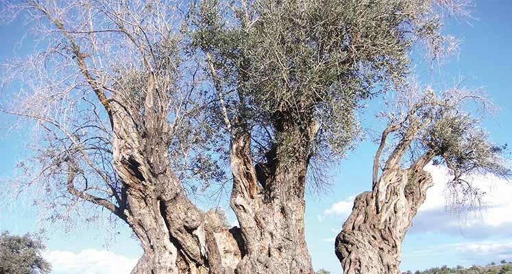 zeytin-ağacı