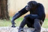 Şempanzeler kendi kendine alet kullanmayı öğrenebiliyor!