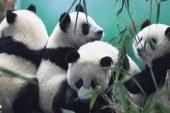 """Malezya'daki """"diplomat pandalar""""ın yavrusu oldu"""