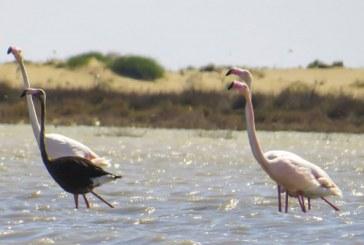 Siyah flamingo Güney Kıbrıs'ta görüldü
