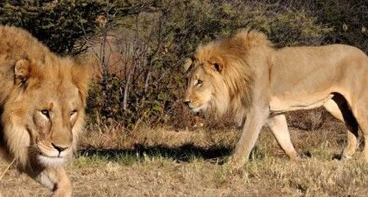 Photo of Aslanlar kaçak avcıyı yedi
