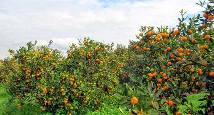 Photo of Lefke'de portakal bahçesindeki işçi merdivenden düşüp belini kırdı