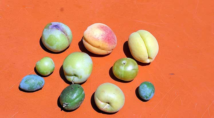 Photo of Aynı ağaçta 10 çeşit meyve yetiştirdi