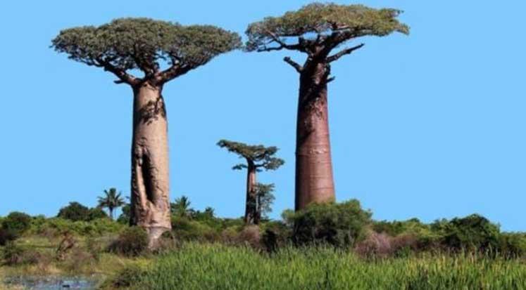 boaba ağacı