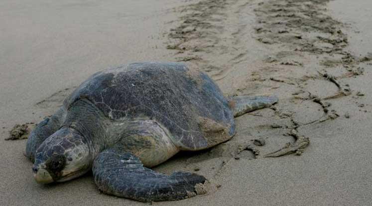 Photo of Meksika'da 113 deniz kaplumbağası kıyıya vurdu