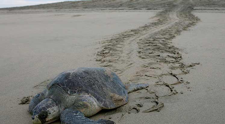 Photo of Meksika sahilinde, ölü deniz kaplumbağaları bulundu