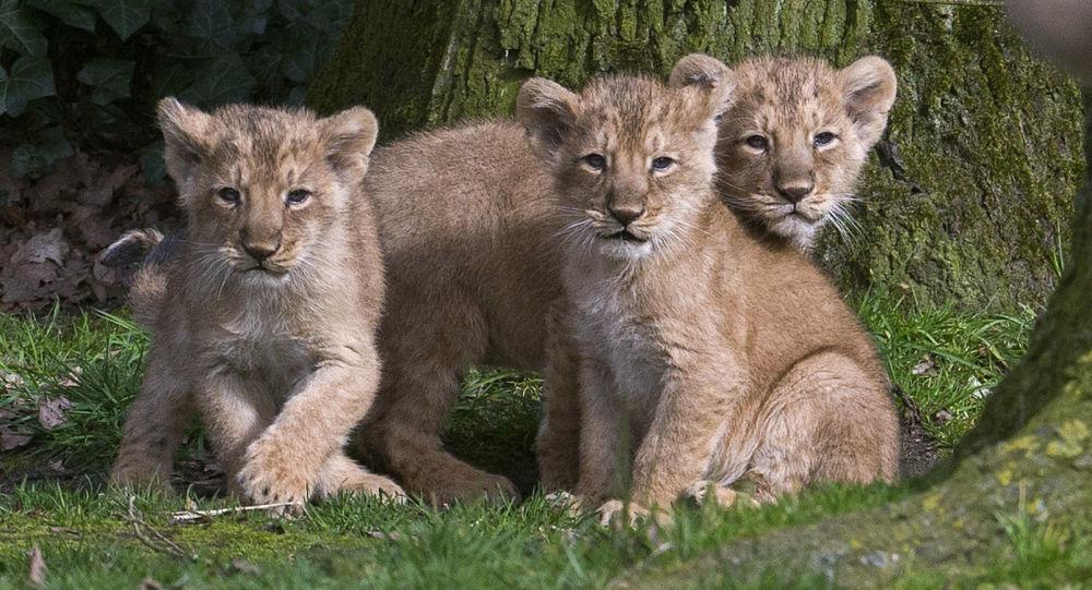 Photo of Dişi aslan, üç yavrusunun babasını öldürdü