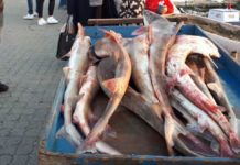 Gelibolu köpekbalıkları