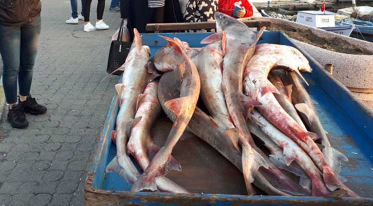 Photo of Gelibolu'da yakalanan köpek balıkları, Yunanistan'a satılacak