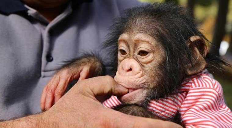Photo of Sakin kalan Maymunlar daha uzun yaşıyor