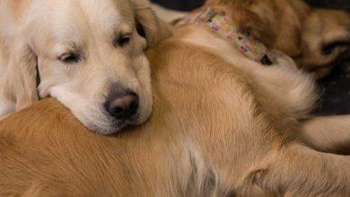 Photo of Köpekler üzerine yapılan bir çalışma erkeklerde sperm kalitesinin düşüş nedenlerine ışık tutabilir