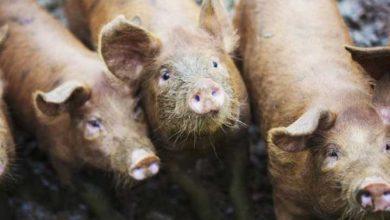 Photo of Rusya'da 56 yaşındaki bir kişiyi 'beslediği domuzlar yedi'