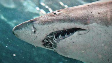 Photo of Bilim İnsanlarından Köpek Balığı Açıklaması: Onların da Korktuğu Bir Canlı Var