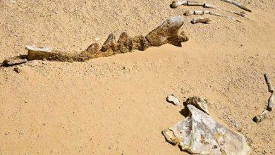 Photo of Mısır çöllerindeki 40 milyon yıllık Balina fosilleri