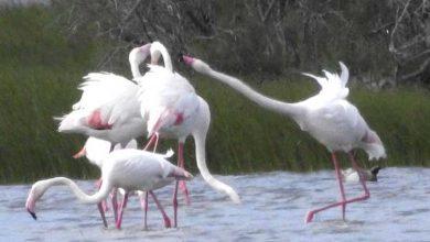 Photo of Kurşun zehirlenmesinden ölen flamingoların sayısı 77