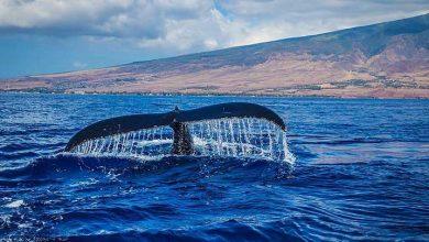 Photo of Mavi balinaların göç rotasını hafızaları çiziyor