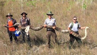 Photo of ABD'de 5,2 metre uzunluğunda piton yakalandı